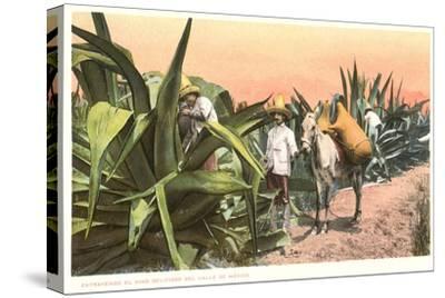 Maguey Juice Harvest