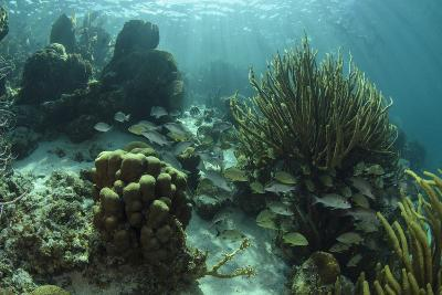 Mahogany Snapper and Grunts, Hol Chan Marine Reserve, Belize-Pete Oxford-Photographic Print