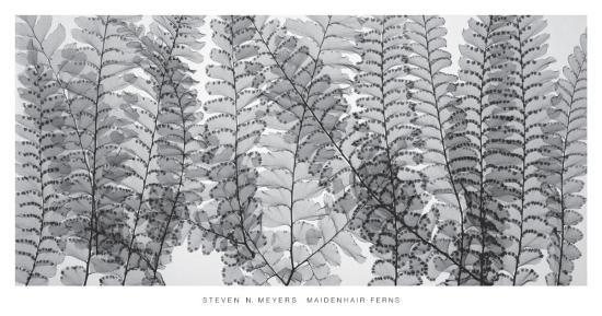Maidenhair Ferns-Steven N^ Meyers-Art Print