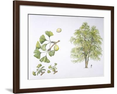 Maidenhair Tree (Ginkgo Biloba) Plant with Flower, Leaf and Seed--Framed Giclee Print