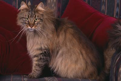 Maine Coon Cat on Chair-DLILLC-Photographic Print