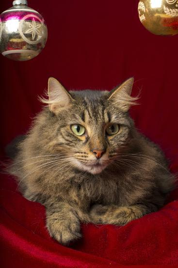 Maine Coon for Christmas with Collector Ornaments-Maresa Pryor-Photographic Print