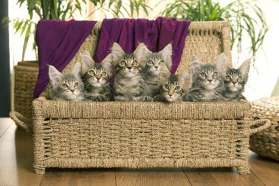 Maine Coon Group of Seven Kittens in Basket--Photographic Print