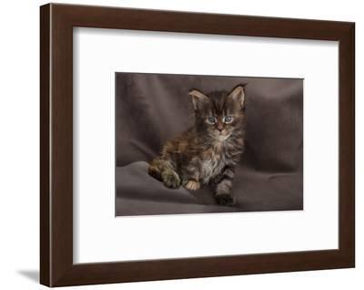 Maine coon kitten, fluffy on brown background-Sue Demetriou-Framed Photographic Print