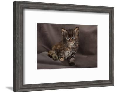 Maine coon kitten, fluffy on brown background-Sue Demetriou-Framed Photographic Print