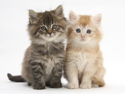 Maine Coon Kittens, 7 Weeks, Showing Different Colours-Mark Taylor-Photographic Print