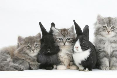 Maine Coon Kittens, 8 Weeks, with Baby Dutch X Lionhead Rabbits-Mark Taylor-Photographic Print
