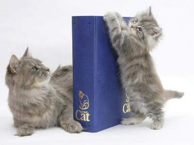 Maine Coon Mother Cat, Serafin, with Kitten Reaching with Paws on 'Your Cat' Binder-Mark Taylor-Photographic Print