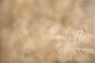 Maine, Harpswell. Hydrangea Abstract-Jaynes Gallery-Photographic Print