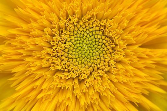 Maine, Harpswell. Sunflower Detail-Jaynes Gallery-Photographic Print
