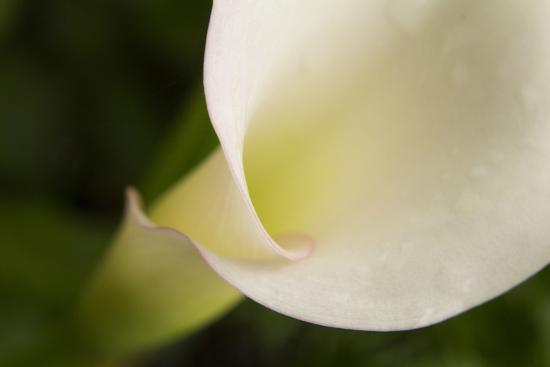 Maine, Harpswell. White Calla Lily Close-Up-Jaynes Gallery-Photographic Print