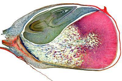Maize Niblet, Light Micrograph-Dr. Keith Wheeler-Photographic Print
