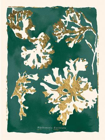 Rhodomenia Laciniata - Jewel