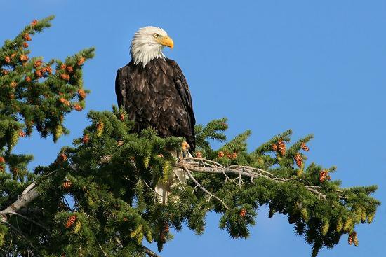majestic-bald-eagle