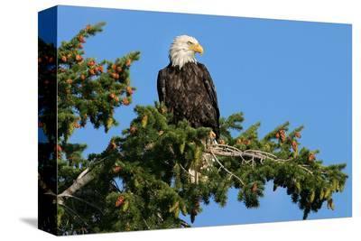 Majestic Bald Eagle--Stretched Canvas Print