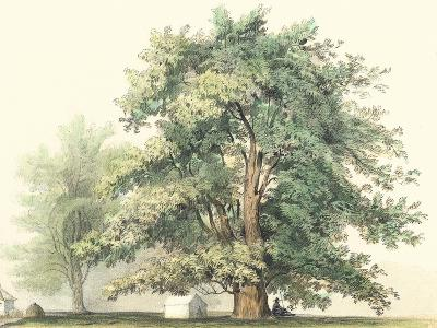 Majestic Oak--Art Print