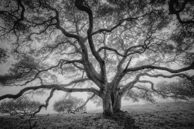 https://imgc.artprintimages.com/img/print/majestic-old-oak-black-and-white-petaluma-northern-california_u-l-pwc0950.jpg?artPerspective=n