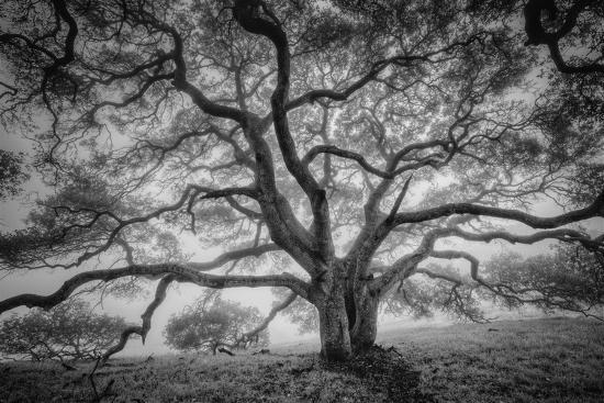 Majestic Old Oak, Black and White, Petaluma Northern California-Vincent James-Photographic Print