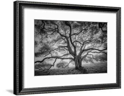 Majestic Old Oak, Black and White, Petaluma Northern California-Vincent James-Framed Photographic Print