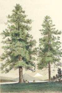 Majestic Pine II