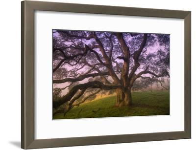 Majestic Wild Oak, Petaluma, California