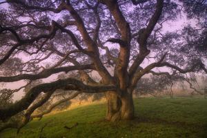 Majestic Wild Oak, Petaluma, California
