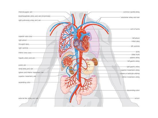 Major Arteries and Veins Art Print by Encyclopaedia Britannica | Art.com