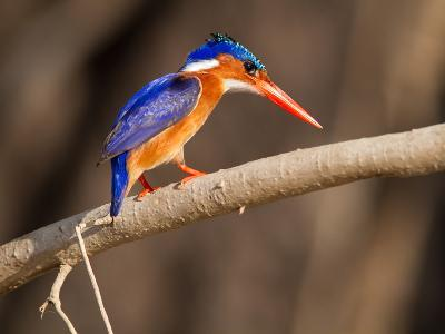 Malachite Kingfisher Perching on a Tree Branch-Roy Toft-Photographic Print