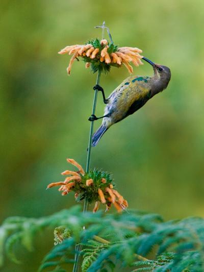 Malachite Sunbird (Nectarinia Famosa) Feeding on a Flower, Usambara Mountains, Tanzania--Photographic Print