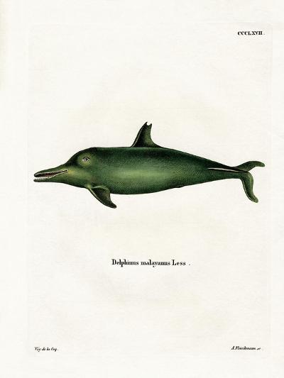 Malayan Dolphin--Giclee Print