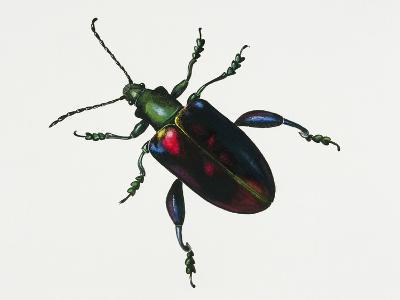 Malayan Frog Beetle or Frog-Legged Leaf Beetle (Sagra Buqueti)--Giclee Print