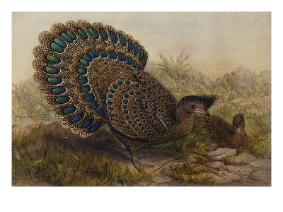 Malayan Peacock Pheasant (Polyplectron Bicalcaratum)-Henry Constantine Richter-Giclee Print