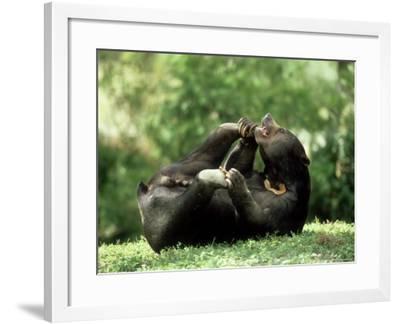 Malayan Sun Bear, Playing, Zoo Animal-Stan Osolinski-Framed Photographic Print