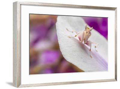 Malaysian Orchid Mantis (Hymenopus Coronatus) Pink Colour Morph, Camouflaged On An Orchid-Alex Hyde-Framed Photographic Print