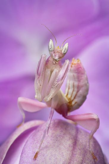 Malaysian Orchid Mantis (Hymenopus Coronatus) Pink Colour Morph, Camouflaged On An Orchid-Alex Hyde-Photographic Print