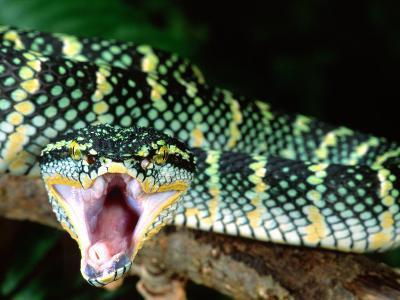 Malaysian Temple Viper, Native to Malaysia and Indonesia-David Northcott-Photographic Print