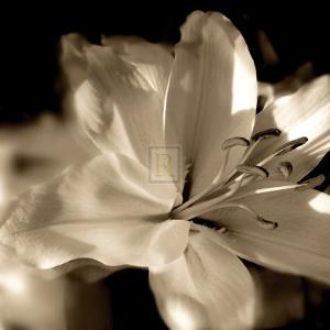 Lily Glow II by Malcolm Sanders