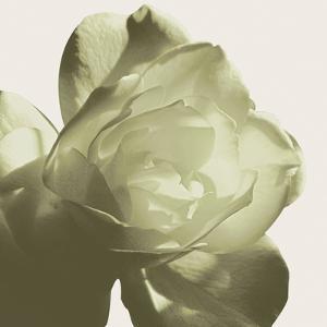 Pistachio Rose by Malcolm Sanders
