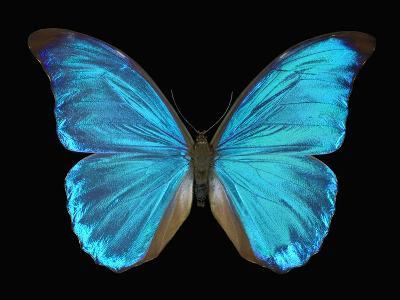 Male Adult Blue Morpho Butterfly (Morpho Amathonte)-Jeffrey Miller-Photographic Print