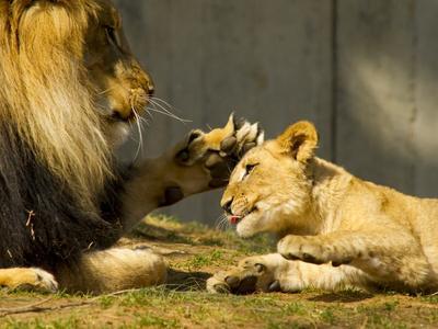 https://imgc.artprintimages.com/img/print/male-african-lion-and-cub-panthera-leo-socializing_u-l-phu52e0.jpg?p=0