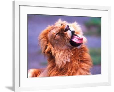 Male African Lion Grooming, Tanzania-David Northcott-Framed Photographic Print