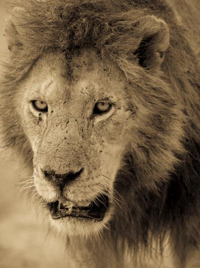 Male African Lion Looks Intently Ahead-Ralph Lee Hopkins-Photographic Print