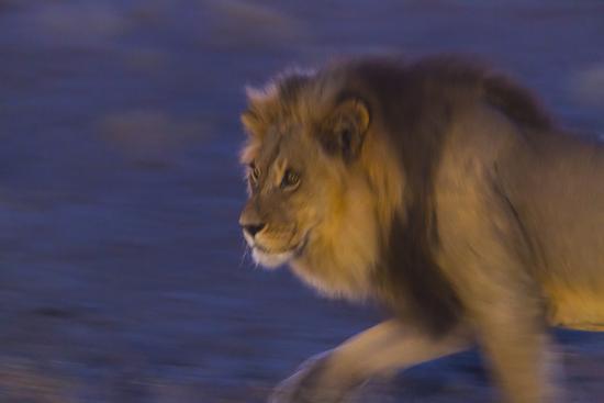 Male African Lion (Panthera Leo) At Night, Kalahari Desert, Botswana-Juan Carlos Munoz-Photographic Print