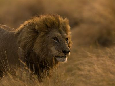 Male African Lion, Panthera Leo, in Golden Grasslands-Beverly Joubert-Photographic Print