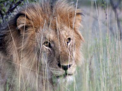 Male African Lion, Panthera Leo, in Tall Grasses-Kent Kobersteen-Photographic Print