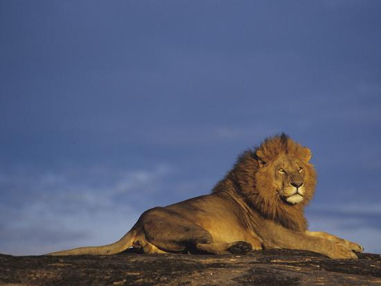 Male African Lion Watching over the Savanna at Dawn Front the Top of a Rock Outcrop-Joe McDonald-Photographic Print