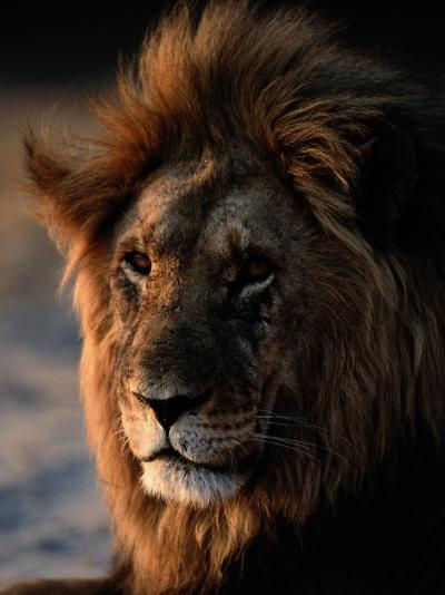 Male African Lion-Beverly Joubert-Photographic Print
