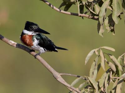 Male Amazon Kingfisher, Chloroceryle Amazona-Roy Toft-Photographic Print