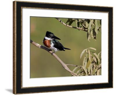 Male Amazon Kingfisher, Chloroceryle Amazona-Roy Toft-Framed Photographic Print