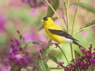 Male American Goldfinch (Carduelis Tristis) on Ironweed (Veronia). North America-Steve Maslowski-Photographic Print